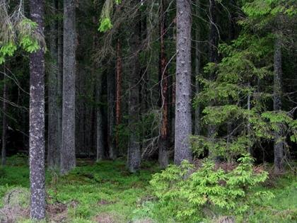 BäckafallSkog_420